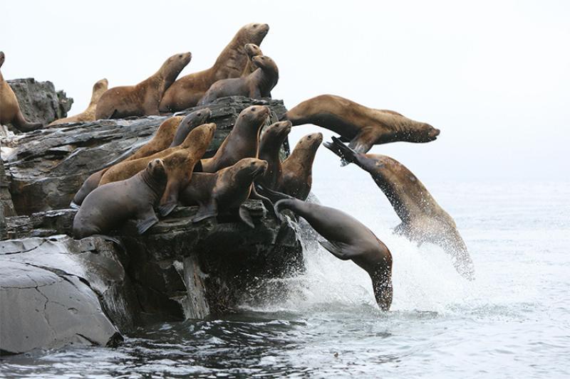 750x500-sea-lions-AFSC.jpg