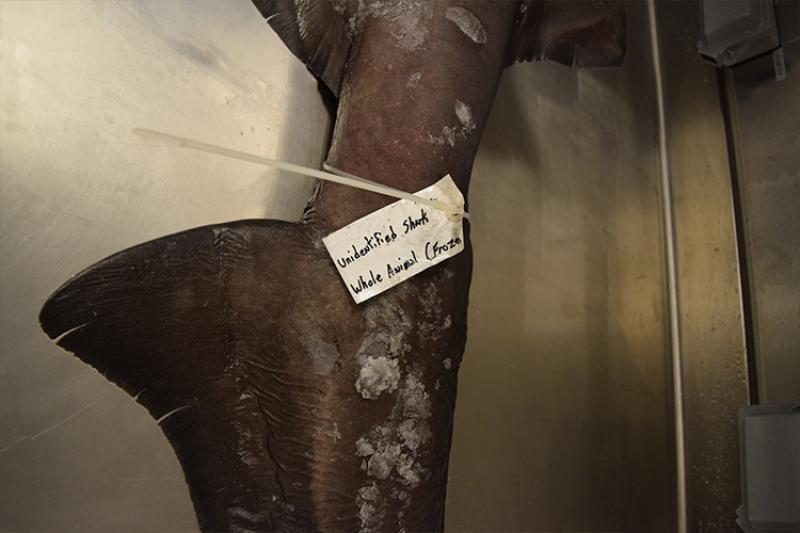 750x500-shark-tag-NOAA-PIRO.jpg
