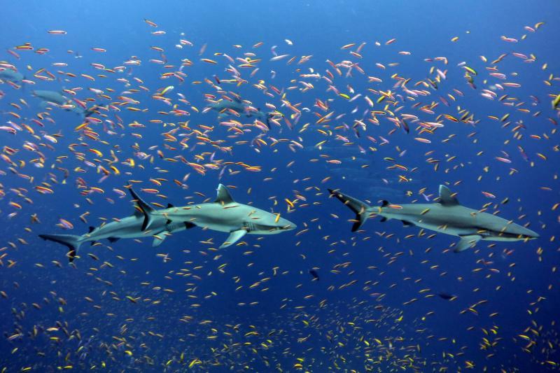 750x500-Sharks-Jarvis-Island-PIFSC.jpg