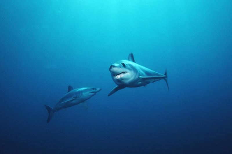 750x500-sharks-SWFSC.jpg