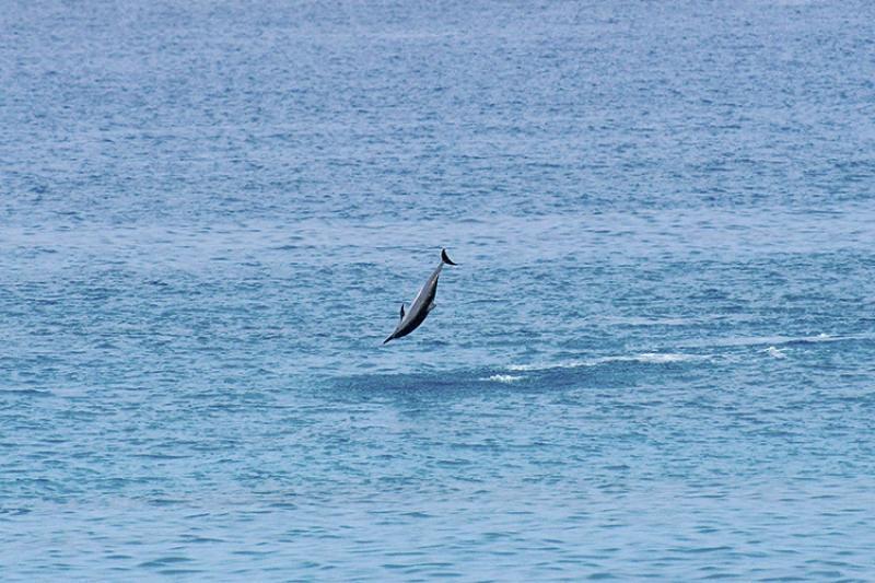750x500-spinner-dolphin-spinning-jbc-NOAA-PIRO.jpg