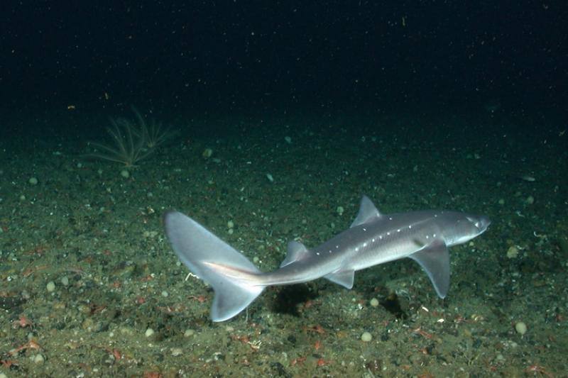 750x500-spiny-dogfish-NOAA.jpg