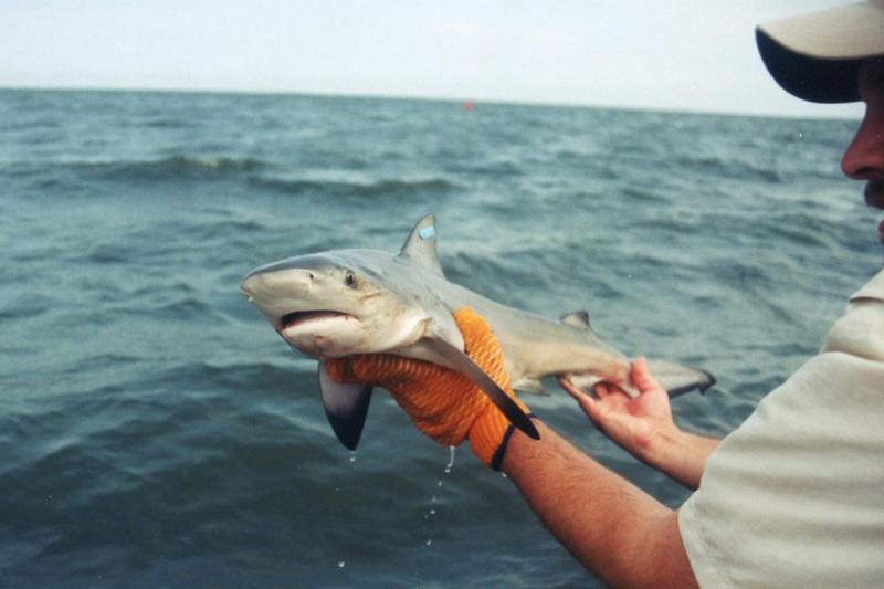Bull Shark in the hands of Tobey Curtis.  Tobey is wearing an orange glove on left hand, held under the sharks head.r