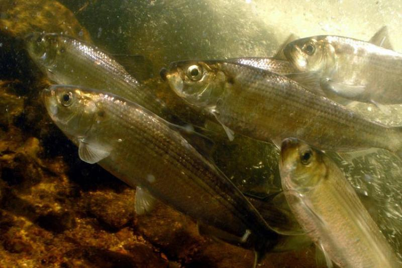 750x500alewives_credit_jerry_prezioso.jpg