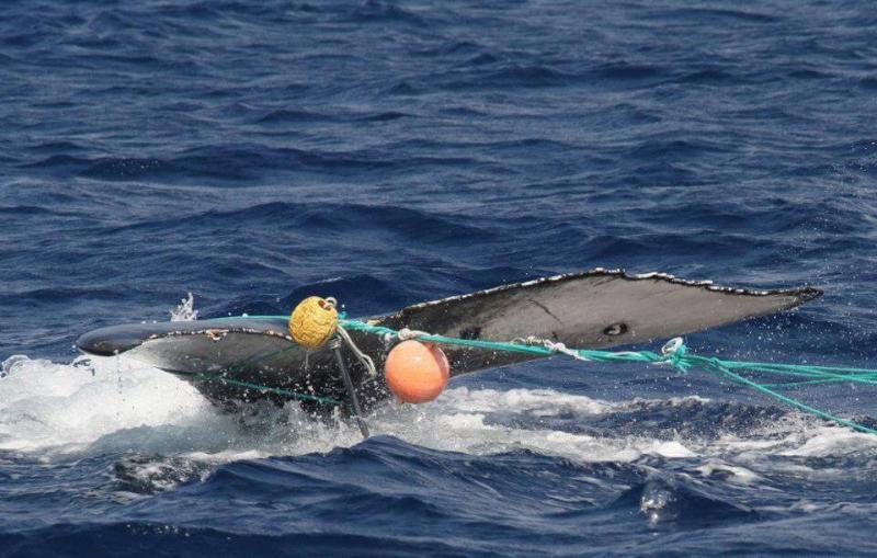 960x611-humpback-entanglement.jpg