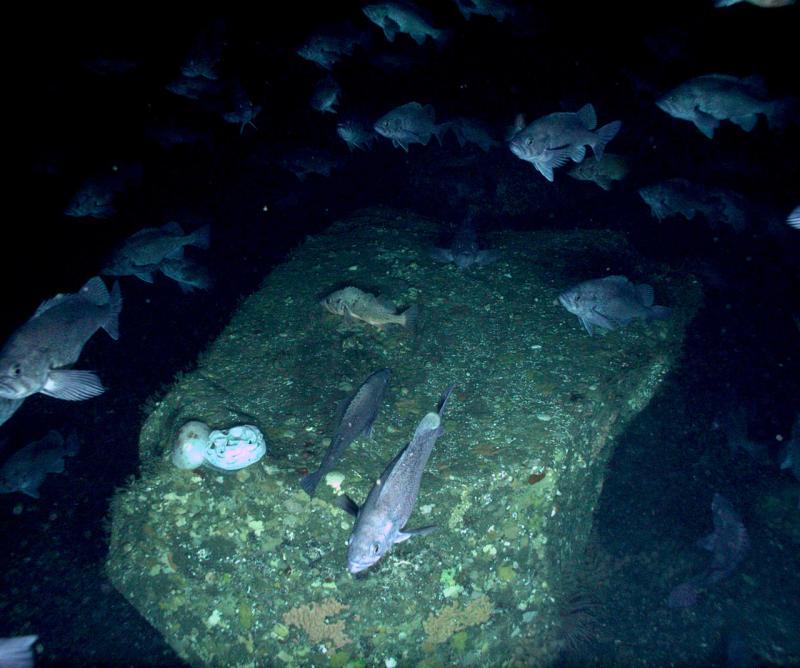 AFSC-Rock_Coral_Sponge-Article (1).jpg