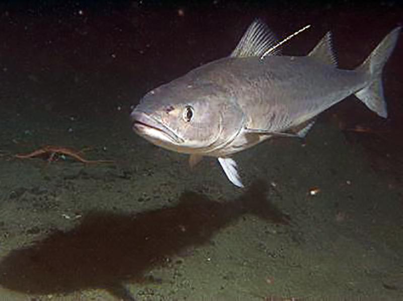 AlaskaSablefishTagProgram-Image-1.jpg