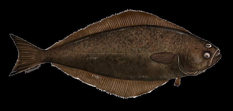 atlantic-halibut-illustration.png