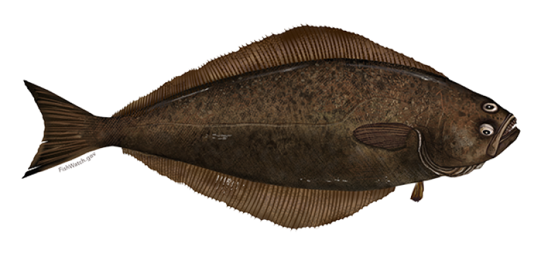 atlantic-halibut-illustration.png