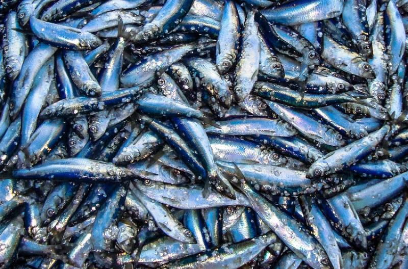 Atlantic Herring, they are silvery in color, with a bluish or greenish-blue back.