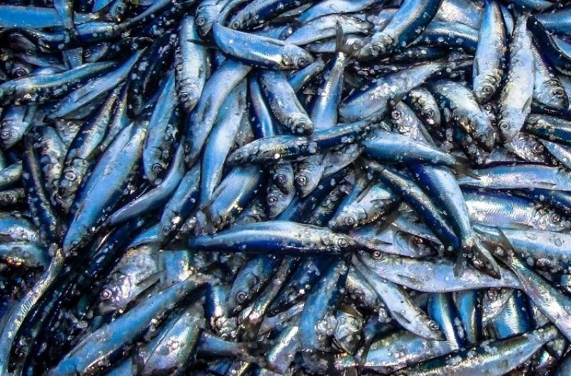 Atlantic herring, blue toned fish, slim.