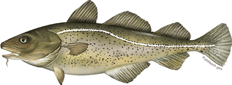 atlantic_cod.png