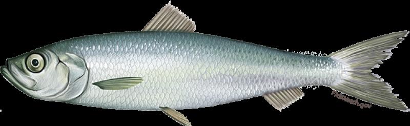 atlantic_herring.png