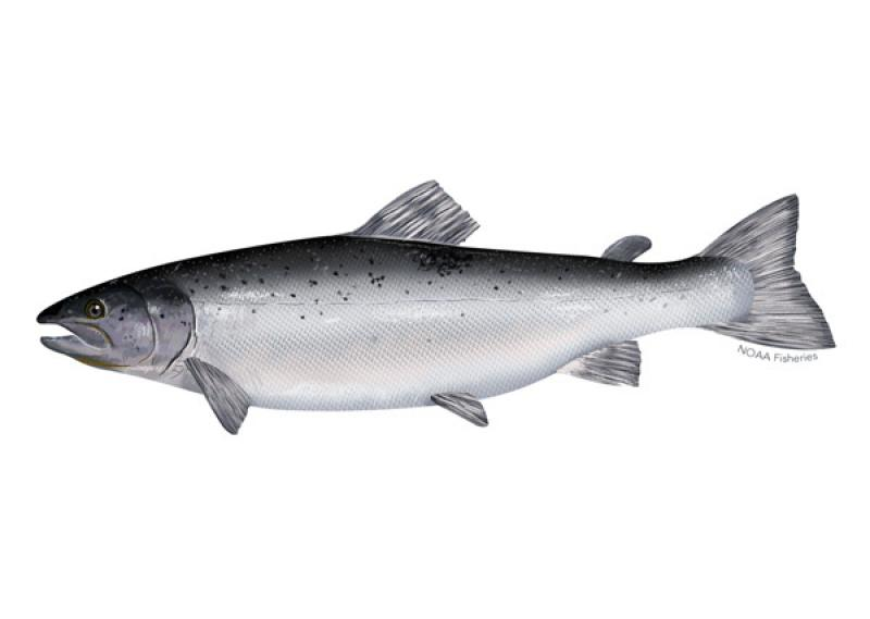 atlantic_salmon_illustration.jpg