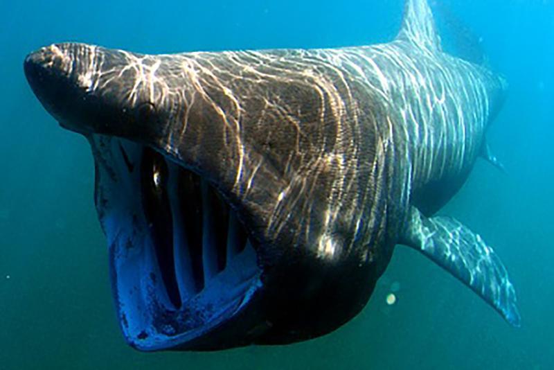 Basking Shark_750x500.jpg