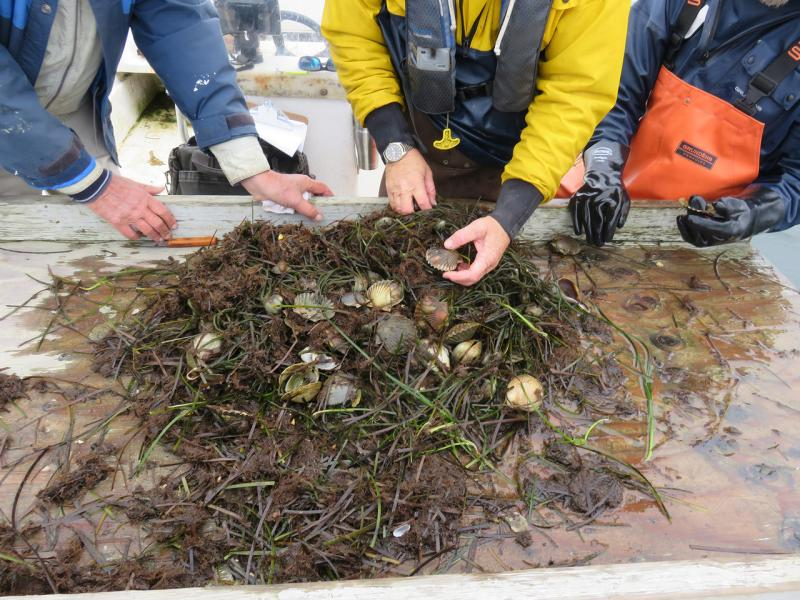 Bay scallops and seaweed being sorted on deck.