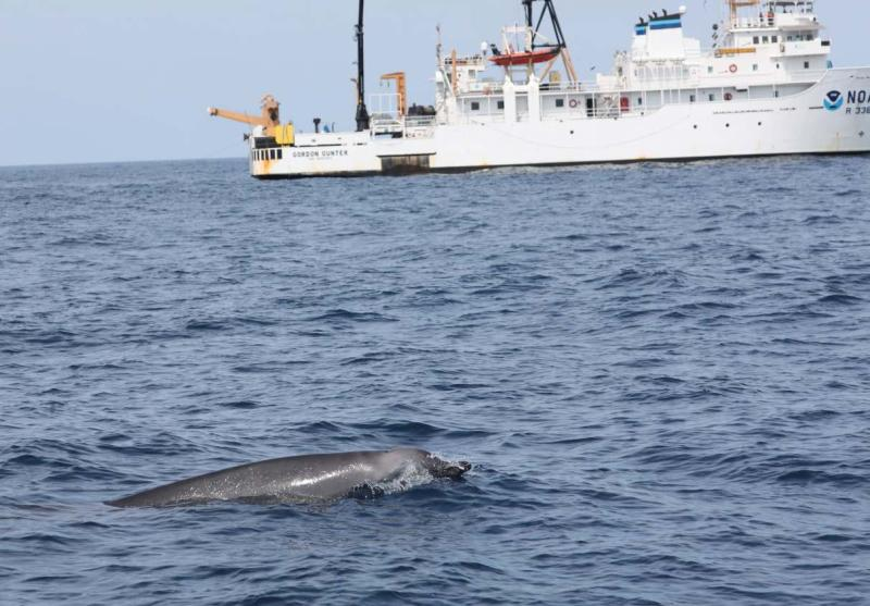 Beaked whale in the foreground, NOAA white boat in the background