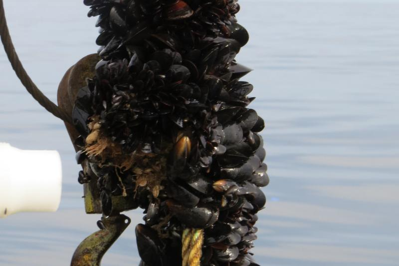 Blue mussels being pulled out of the water.
