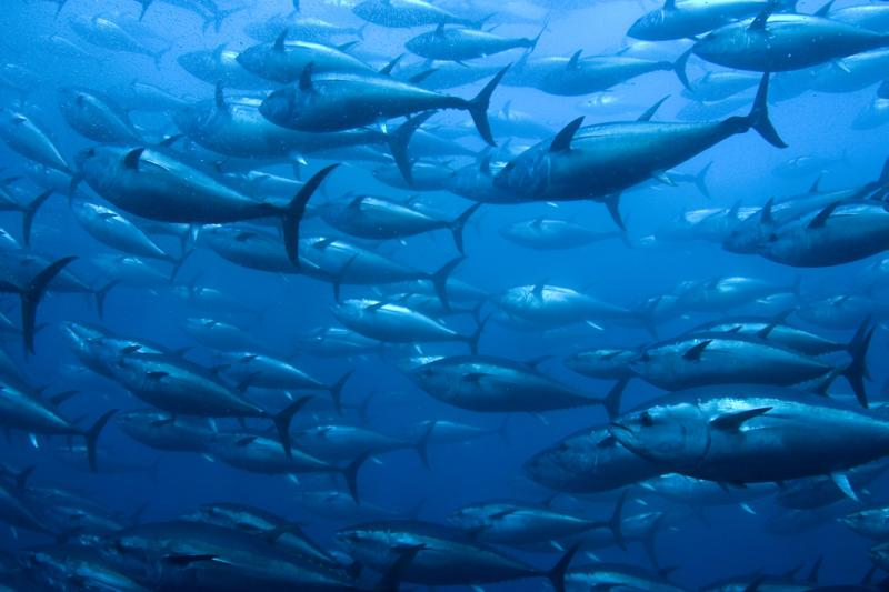 Bluefin Tuna in Net