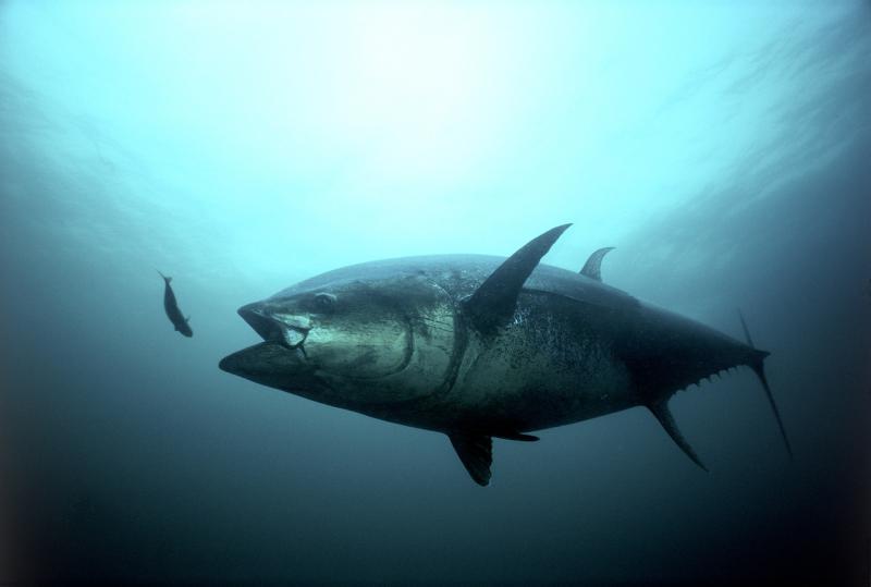 bluefin_tuna_strike.jpg