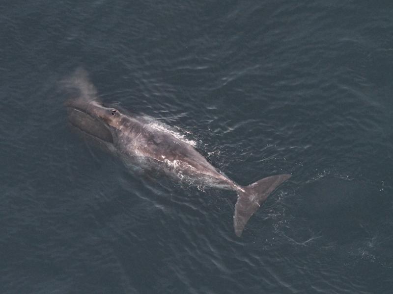 bowhead-whale-feeding-NEFSC.jpg