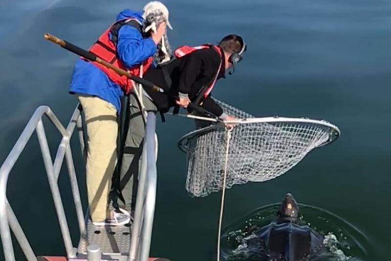 Two researchers on bowsprit holding net with leatherback turtle in the water below.