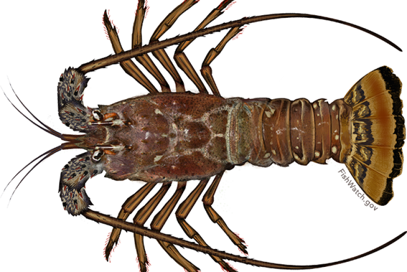 carribbean_spiny_lobster.png
