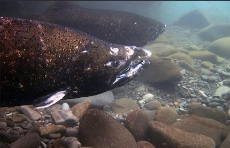 Chinook-salmon-NWFSC-John-McMillan-1298x832.jpg