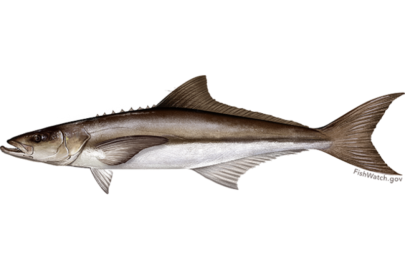 cobia.png