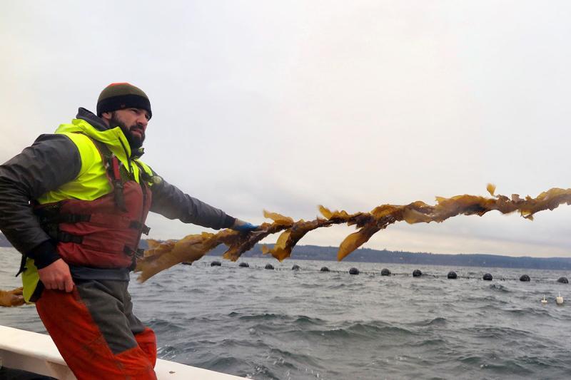 cultured-sugar-kelp.jpg