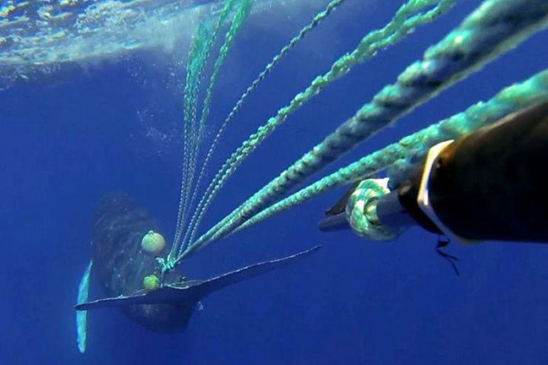Entangled whale as viewed underwater, gear appears to be wrapped around tail.