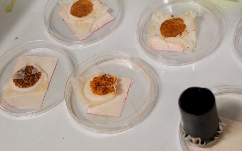 Set of petri dishes filled with drying plankton.