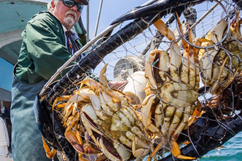 Dungeness crabs caught by fisherman.jpg