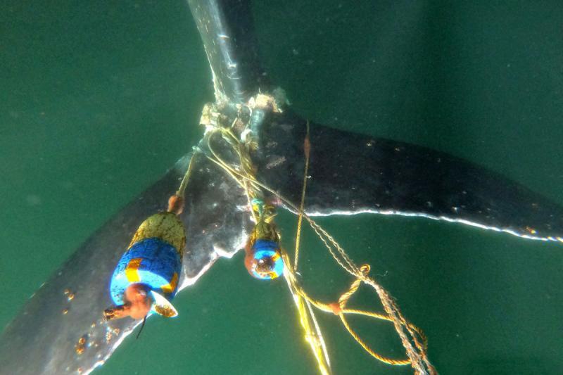entangled-humpback-tail.jpg