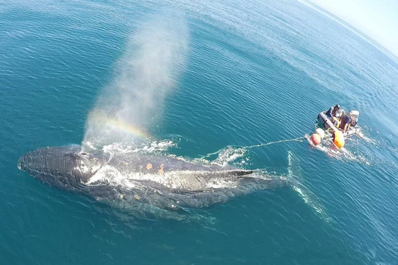 entangled-whale.jpg