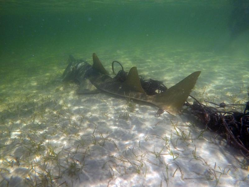 Entangled Sawfish NPS Photo.jpg
