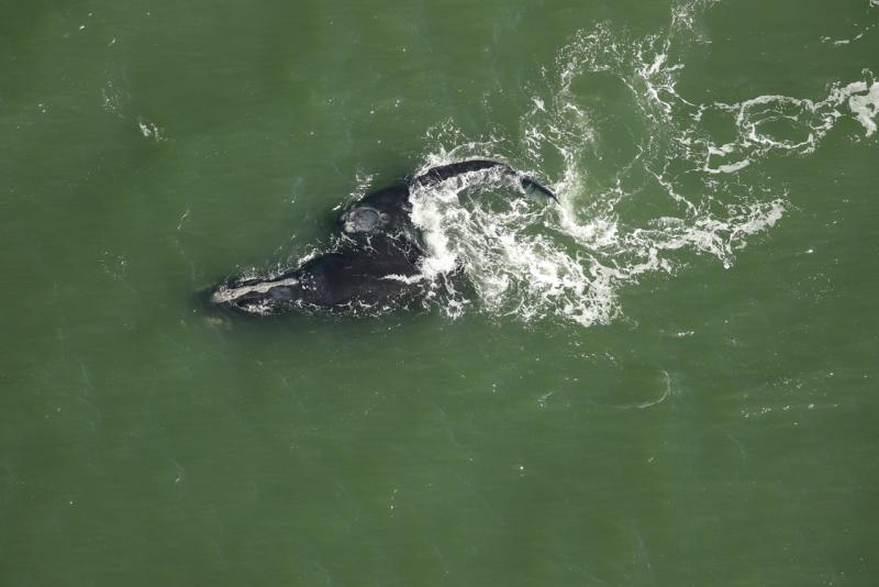 Calf and mom swimming off Florida.