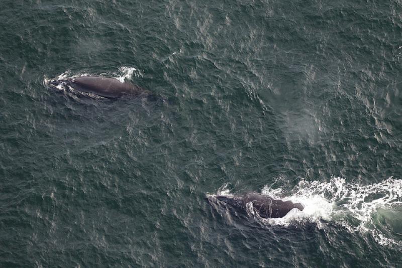First right whales 2018_2019 season.jpg