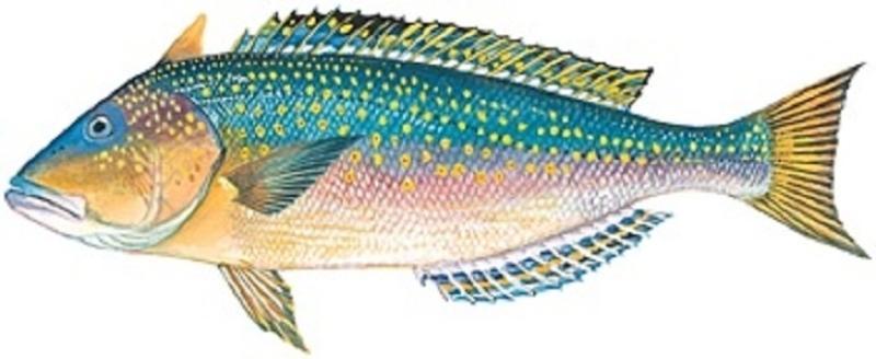 fish-golden-tilefish-image.jpg