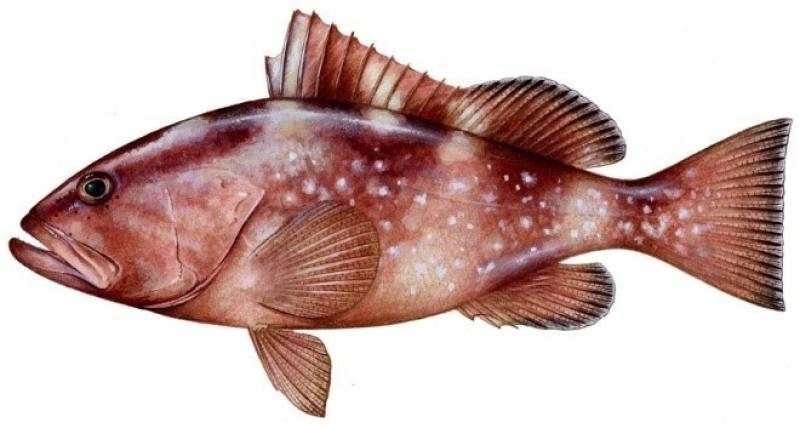 fish-image-redgrouper.jpg