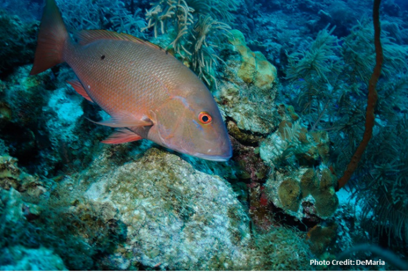 Image of a snapper grouper fish