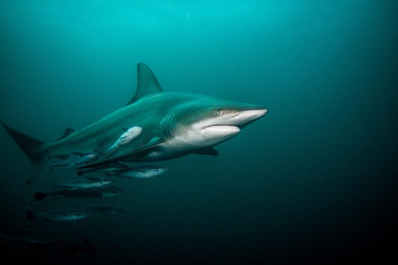 Pelagic Blacktip shark in open water .