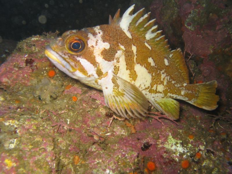 Gopher rockfish, reef bottom, CA, NOAA Corps, Lt John Crofts (Flickr).jpg