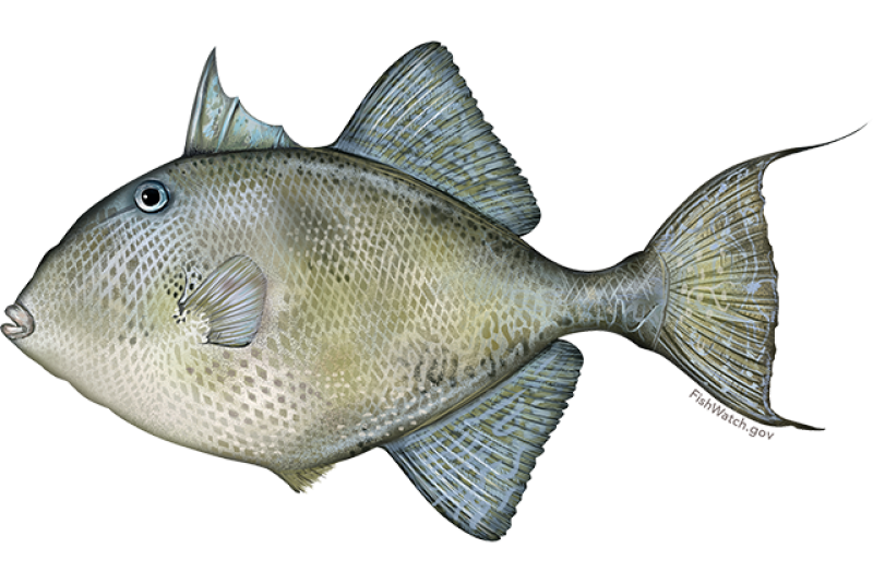 gray_triggerfish.png