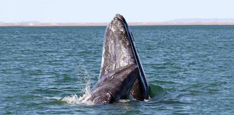 gray_whale_survey_thermal_imaging.jpg