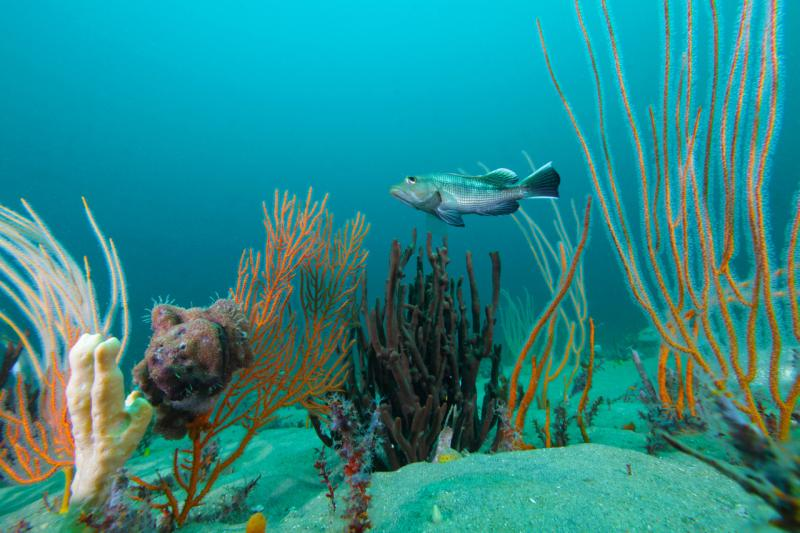 grays-reef-seabass.jpg