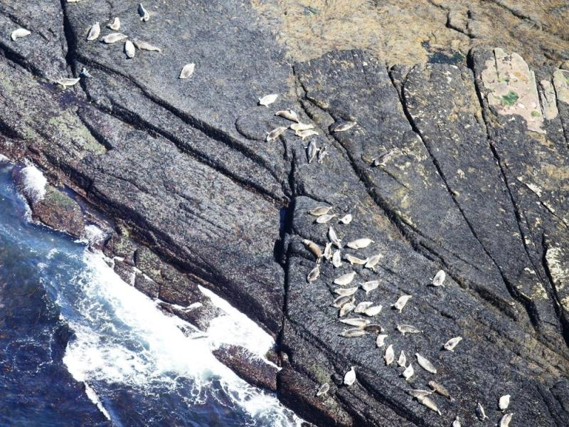 Harbor seals on the rocks as seen from the aerial survey plane.