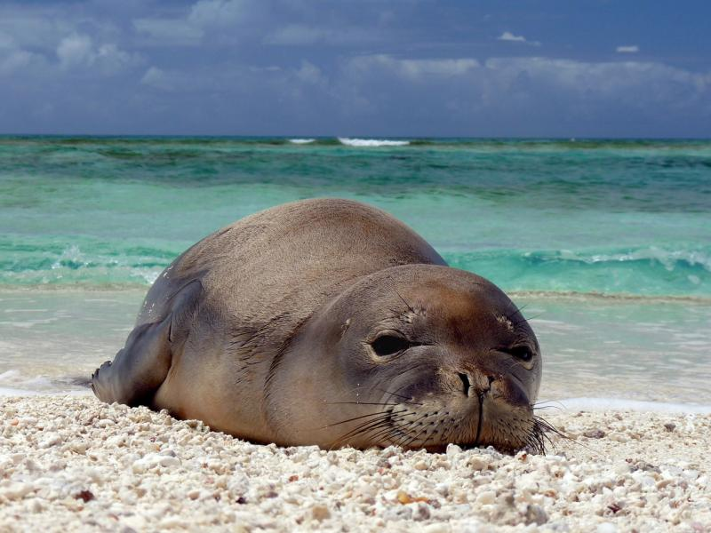 Hawaiian_monk_seal_at_French_Frigate_Shoals_07.jpg