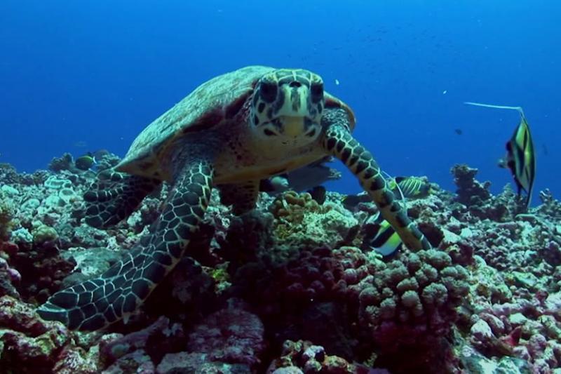hawksbill-turtle.jpg