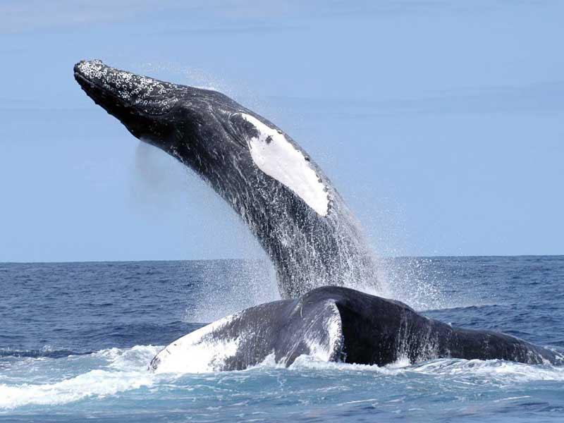 humpback_nefsc.jpg